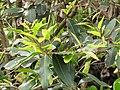 Starr-130318-2672-Syzygium cumini-leaves-Kilauea Pt NWR-Kauai (25114582511).jpg