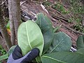 Starr-130319-3145-Cupaniopsis anacardioides-leaves-Kilauea Pt NWR-Kauai (25115512041).jpg