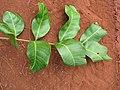 Starr-130320-3416-Cupaniopsis anacardioides-leaves-Nihoku Mokolea Pt Kilauea Pt NWR-Kauai (25209161445).jpg