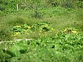 Starr-130911-3108-Sicyos maximowiczii-habit-E Lake-Laysan (24592973544).jpg