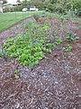Starr-150310-0446-Lactuca sativa-in veggie garden-Hawea Pl Olinda-Maui (24899717739).jpg