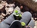Starr-151106-0466-Veronica arvensis-leaves-Science City-Maui (26283929715).jpg