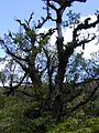 Starr 010715-0032 Ficus cf. platypoda.jpg