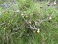 Starr 030628-0055 Solanum linnaeanum.jpg