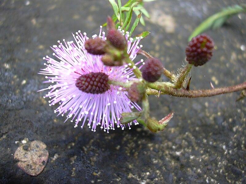 floraison du mimosa pudica