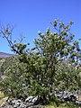 Starr 040723-0423 Sophora chrysophylla.jpg