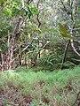 Starr 041113-0664 Melinis minutiflora.jpg