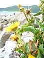 Starr 050225-4549 Reichardia picroides.jpg