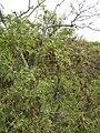 Starr 050815-3449 Sophora chrysophylla.jpg