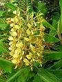 Starr 050817-3936 Hedychium gardnerianum.jpg