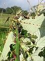 Starr 051123-5454 Rubus discolor.jpg