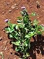 Starr 070402-6336 Centratherum punctatum subsp. punctatum.jpg