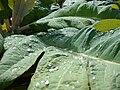 Starr 070830-8209 Bocconia frutescens.jpg