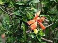 Starr 071121-0024 Hibiscus kokio subsp. saintjohnianus.jpg