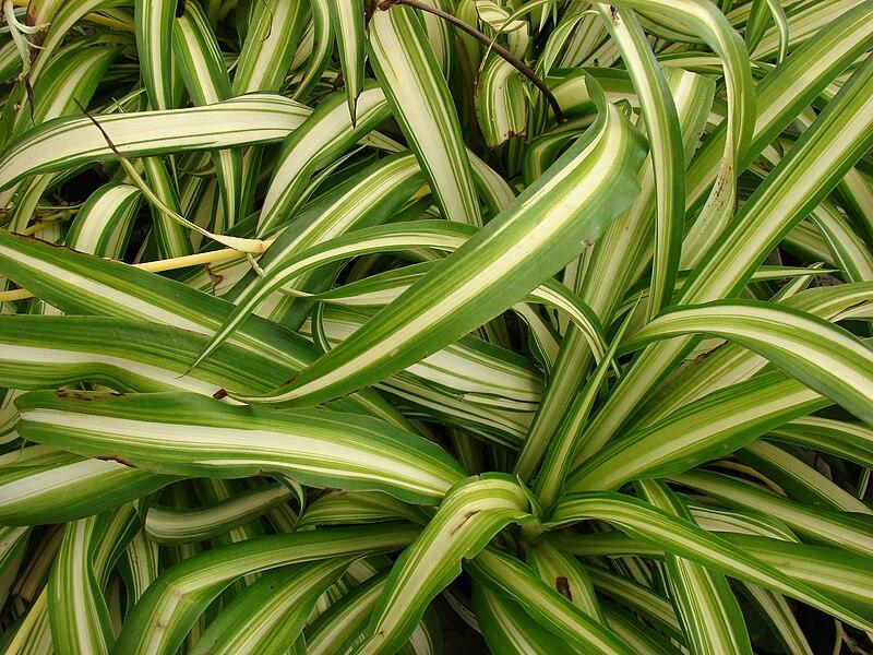File starr 080117 1516 chlorophytum for Matas de jardin