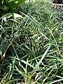 Starr 080117-2140 Ophiopogon japonicus.jpg