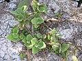 Starr 080614-9644 Solanum nelsonii.jpg