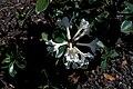 Starr 980528-4080 Rhododendron sp..jpg