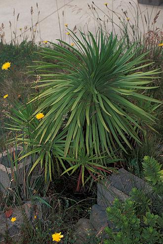 Argyroxiphium - Image: Starr 980630 1521 Argyroxiphium grayanum