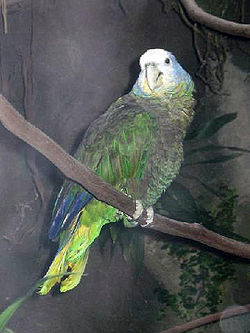 Stavenn Amazona guildingii 01.jpg
