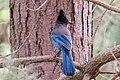 Steller's Jay (27233960393).jpg
