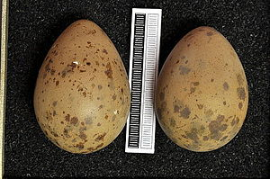 Parasitic jaeger - Eggs, Collection Museum Wiesbaden