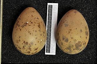 Parasitic jaeger - Eggs, Collection Museum Wiesbaden