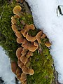 Stereum subtomentosum 116672438.jpg