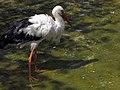 Stork لک لک 10.jpg