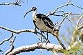 Straw-Necked Ibis (Threskiornis spinicollis) (31343307505).jpg