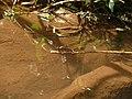 Stream Ruby Female egg laying in Valparai P1100097.JPG