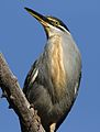 Striated heron, Butorides striata, up in a dead tree at Pilanesberg National Park, Northwest Province, South Africa (27820255601).jpg