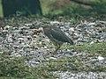 Striated heron (32111537216).jpg