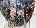 Stromatolites (Bitter Springs Formation, Neoproterozoic, 850 Ma; Amadeus Basin, Australia) 3 (17184651920).jpg