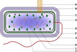 Estrutura da c�lula bacteriana. A-Pili B-Ribossomas; C-C�psula; D-Parede celular; E-Flagelo; F-Citoplasma; G-Vac�olo; H-Plasm�deo; I-Nucle�do; J-Membrana celular