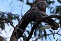 Struthidea cinerea -Australia-8.jpg