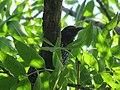 Sturnus vulgaris, Nis, Serbia 04.jpg
