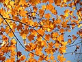 Sugar Maple Leaves - Flickr - treegrow (5).jpg