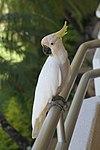 Sulphur-crested Cockatoo (30940921476).jpg