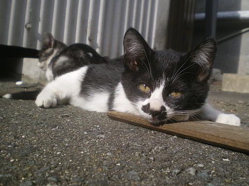 Sunbathing tuxedo stray kitten, stray cat, stray kitten, black and white kitten