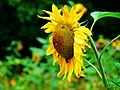 Sunflower And Bumble Bee - panoramio.jpg