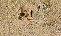 Suricate (Suricata suricata) (6531595477).jpg