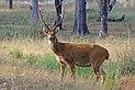 Swamp deer (Cervus duvaucelii branderi) male.jpg