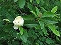 Sweetbay Magnolia Magnolia virginiana Open Closed Flower 2476px.jpg