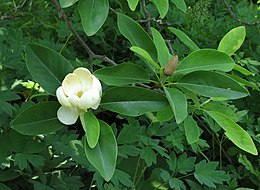 Sweetbay Magnolia Magnolia virginiana Open Closed Flower 2476px.jpg