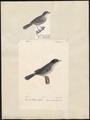Sylvia melanocephala - 1700-1880 - Print - Iconographia Zoologica - Special Collections University of Amsterdam - UBA01 IZ16200131.tif