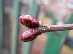 Sympodial - Dichotomous substitution: two equal buds continue growth after the shoot apex has aborted.