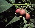 Syzygium Munronii 24.JPG