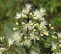 Syzygium zeylanicum flowers 55.jpg