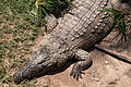 TLV Safari 170812 Crocodile.jpg